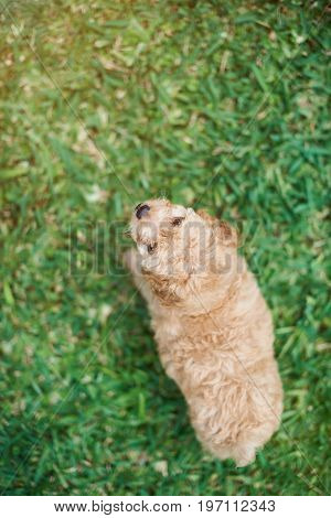 Brown poodle puppy on playing grass above view