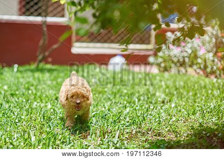 Small poodle puppy run on grass in sunny bright day