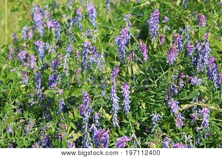 Flowers of tufted vetch (Vicia cracca). Green meadow with small blue flowers