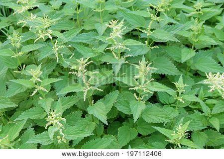 Stinging nettle (Urtica dioica) with flowers and green leaves