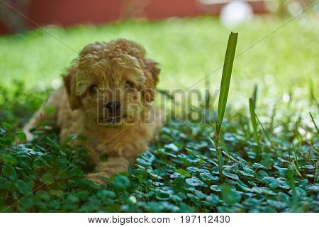 Portrait of cute poodle puppy laying in green park grass