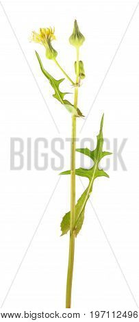Common sowthistle (Sonchus oleraceus) isolated on white background. Medicinal and edible plant
