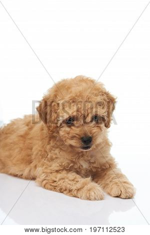 Cute brown poodle puppy laying on white background isolated