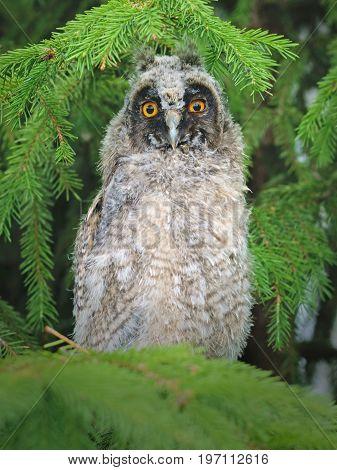 Beautiful long-eared owl on the branches of spruce. Bird owl sitting in the afternoon on the spruce tree.