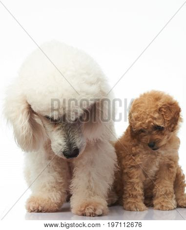Poodle puppy sit with mom isolated on white background
