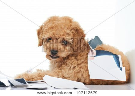 Naughty poodle puppy laying in damaged paper photo parts isolated on white background