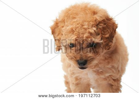 Walking small puppy poodle close-up isolated on white background