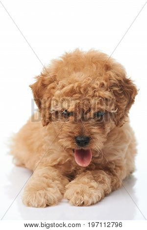 Poodle puppy dog with tongue out laying isolated on white background