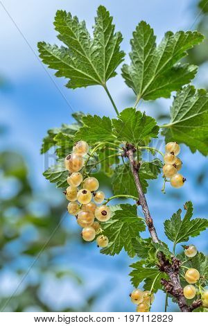 Garden berry shrub white Currant ( Ribes rubrum 'White Grape' ). Ripe berries on a branch close-up