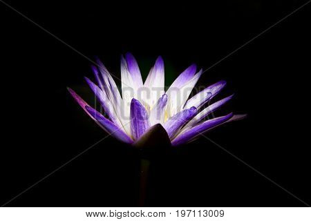 Beautiful purple lotus on black background,The beauty of the lotus flowers in the morning