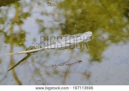 white bird feather fall and floating on water surface in lake