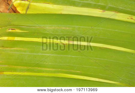 banana leaf torn line texture and background