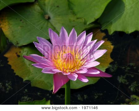 Purple And Yellow Lotus