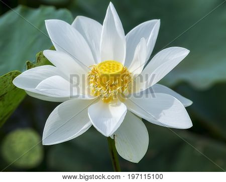 White lotus blossoming in the pond, this is the flower symbolizes the beautiful and pure Buddhism