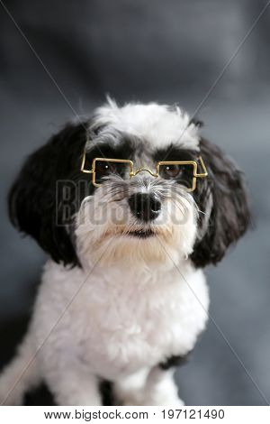 Black and White Havanese Dog wearing reading glasses sitting on a black seamless background.