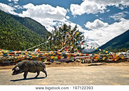 View on buddhist prayer flags an wild pigs in the tibetan mountains