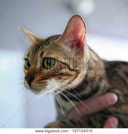 A Frightened Bengal Cat