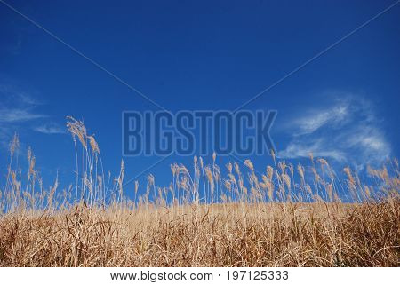 silver pampas grass on a mountain in the mount Aso area in autumn Japan