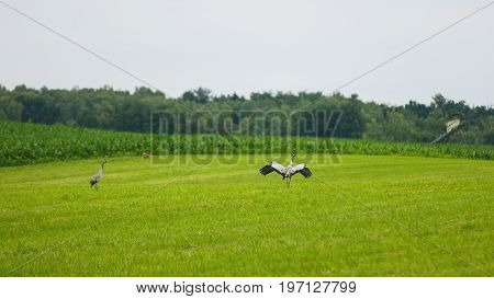 Two cranes on the meadow in summer