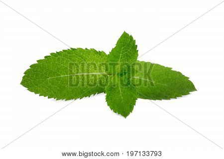 Fresh green leaves of sweet mint, isolated on a white background. Herb leaves from a garden. Ripe and bright green leaf of mint. Medicinal mint. Spearmint and peppermint.