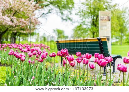 Empty Bench In Green Plaines D'abraham In Morning During Summer With Pink Or Purple Tulip Flower Bed