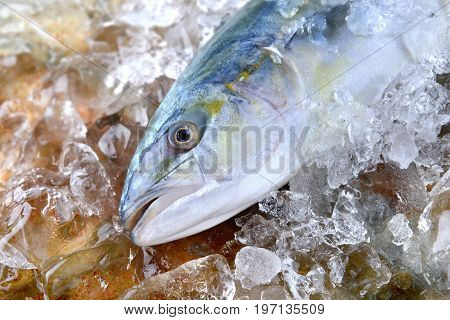 Young Amberjack Fish Or Buri Fish.