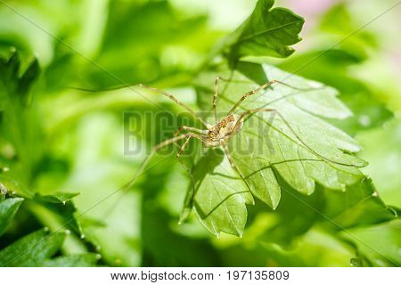 Long legs spider on Parsley leaf. Petroselinum. parsley leaves. Green leaves. Parsley growing in the garden. Close-up. Field. Farm. Agriculture Growing herbs Horizontal