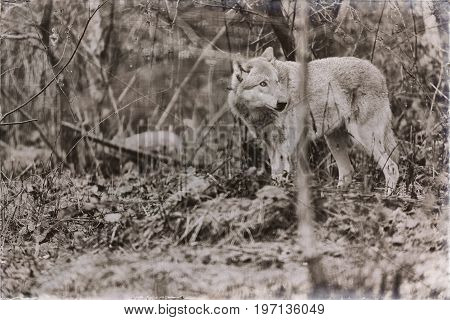 Classic Sepia Photo Of Solitary Wolf Standing In Rainy Forest.