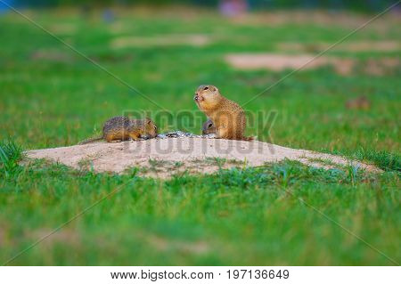 Ground Squirrel Couple. Ground Squirrels  Are Feeding In Meadow. Small Animal In Grassi