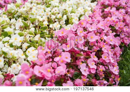 pink and white flowers background and texture