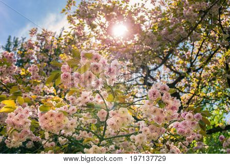 View on beautiful Roses in Sunlight, Purple Flowers in Summer. Blooming Flowers in the Morning Light, Close-up of Flowers on branches.