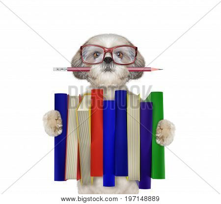 Cute shitzu dog holding a big stack of books -- isolated on white backgroud