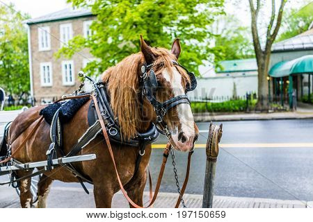 Quebec City, Canada - May 30, 2017: Horse Standing Attached To Carriage Buggy For Tourist Transporta
