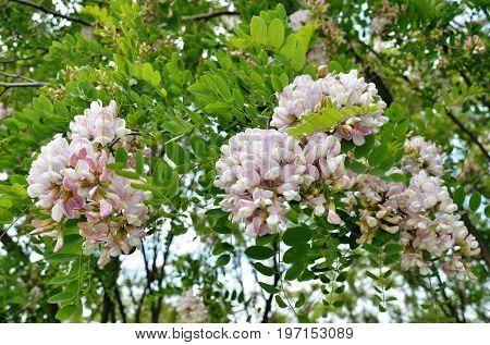 Inflorescences of pink acacia - robynia dubious (Robinia x ambigua) among green foliage on a tall huge tree
