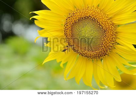 Summer scene about bees that pollinate sunflower