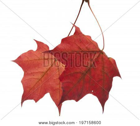 bright maple leaf .Close up on a white background