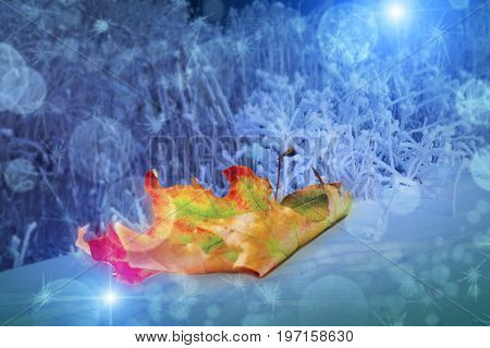 Beautiful yellow red green autumn maple leaf on snow near the plants covered with hoarfrost with a nice blurred bokeh