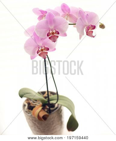 Pink orchid on white background.