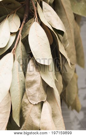 Leaves(Sheets) of laurel you dry for background
