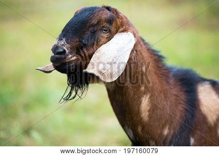 Goat with long ears, Nubian goat