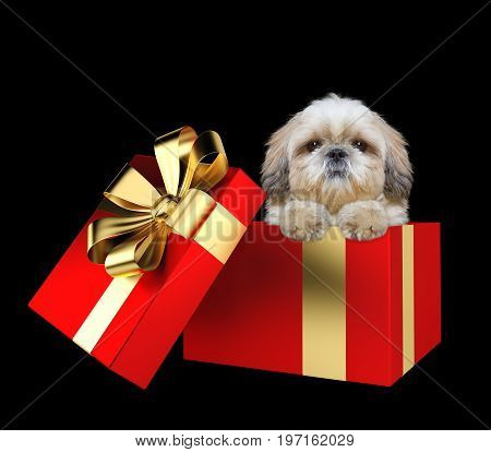 Cute shitzu puppy in a red present box isolated on black background