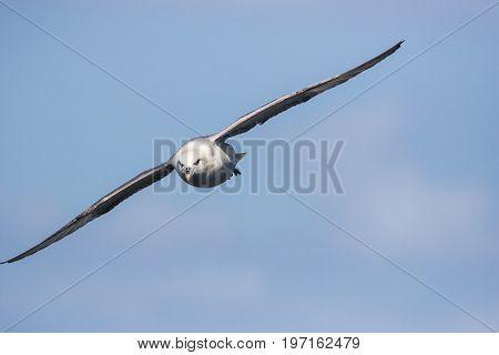 Fulmar (Fulmarus glacialis) in flight flying towards camera against a blue sky