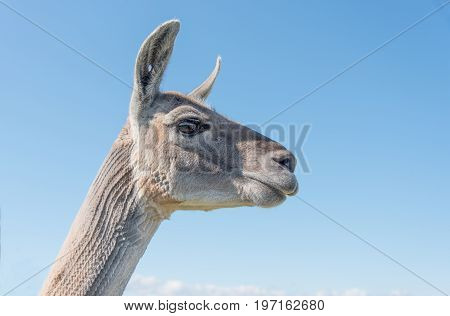 Llama Head And Neck