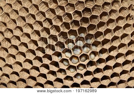 Life cycle of wasp and larva on the nest in the garden.