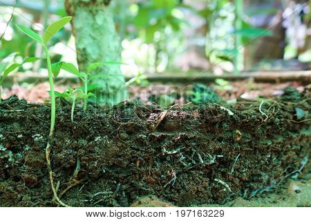 The roots and stems of seedlings are germinating in the gaeden