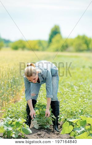 Gorgeous woman agronomist working in field checks eco growing potatoes