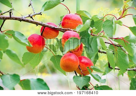 Sweet ripe apricots growing on a branch among juicy green leaves