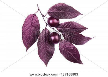 Organic, fresh and dark red autumn leaves with two decorative plums, isolated on a white background. Beautiful branch with dark leaves and with the plums. Bright purple leaves. Burgundy plum leaves.