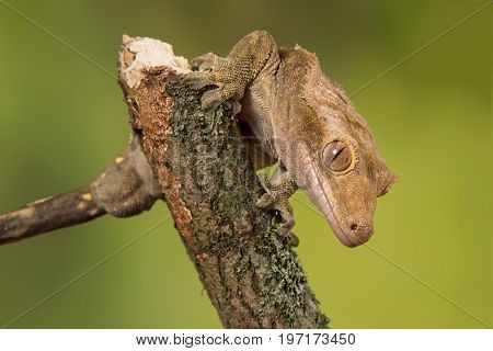Very close photograph of an inquisitive crested gecko on a branch facing down