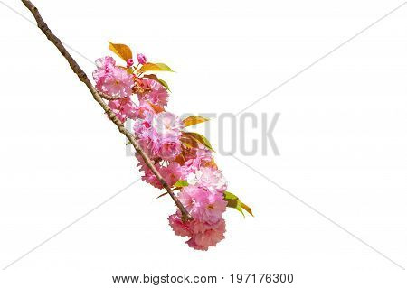 Closeup of cherry blossom in japanese park, Tokyo isolated on white background and copy space. Beautiful pink Sakura flower background. Hanami concept. Cherry blossom is the national flower of Japan.